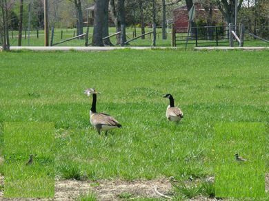 Birds in the north field